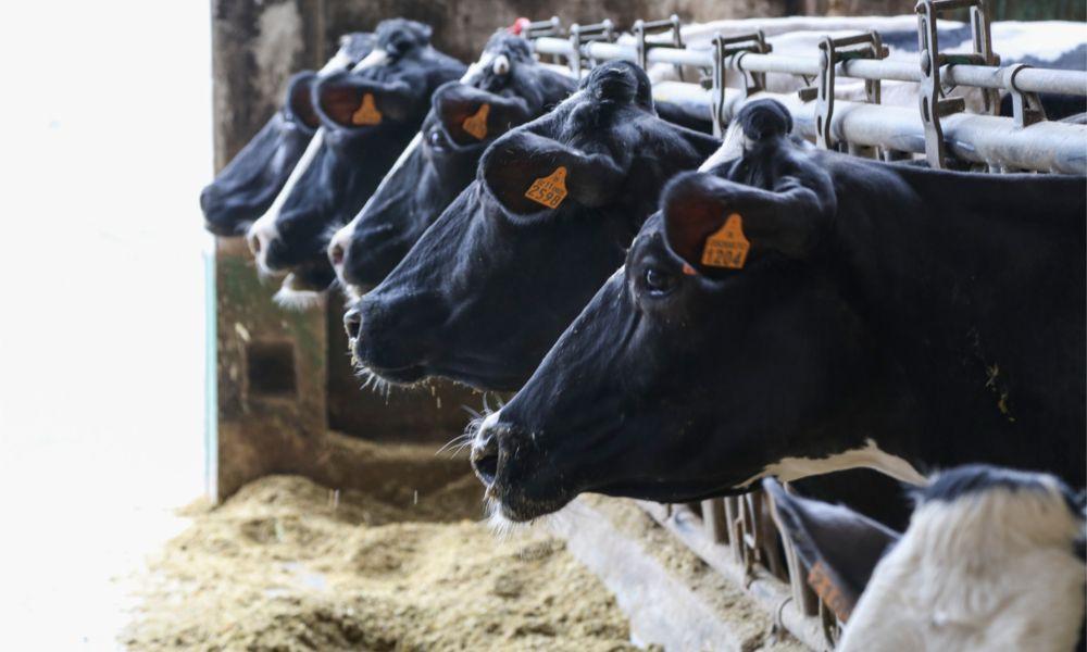 Los ganaderos preparan una campaña para atacar la leche importada