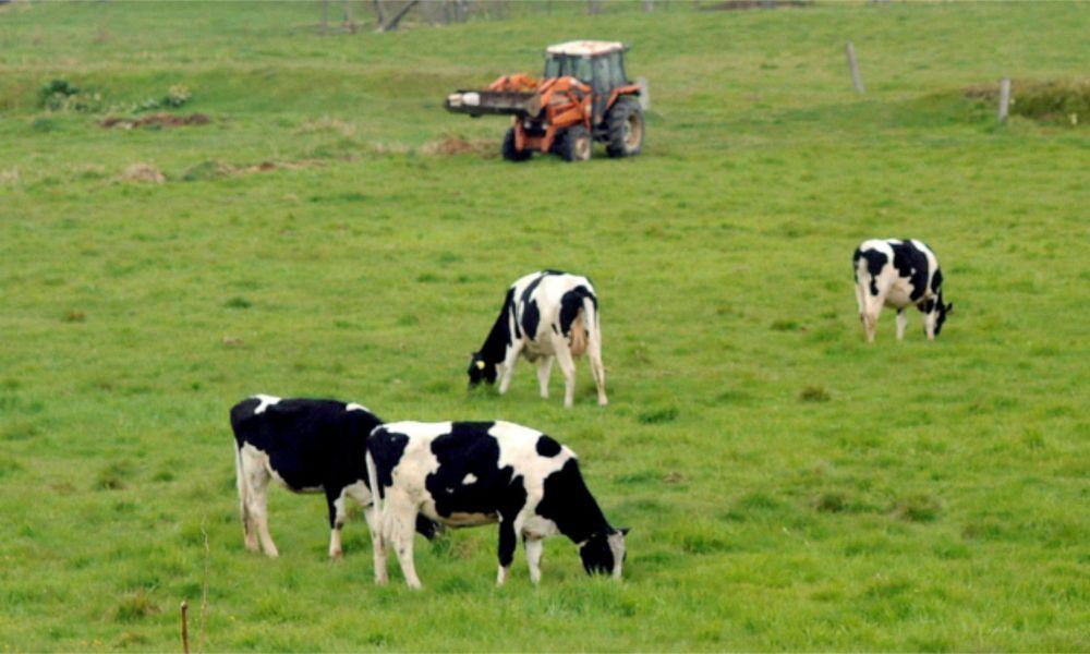 Pasto con vacas