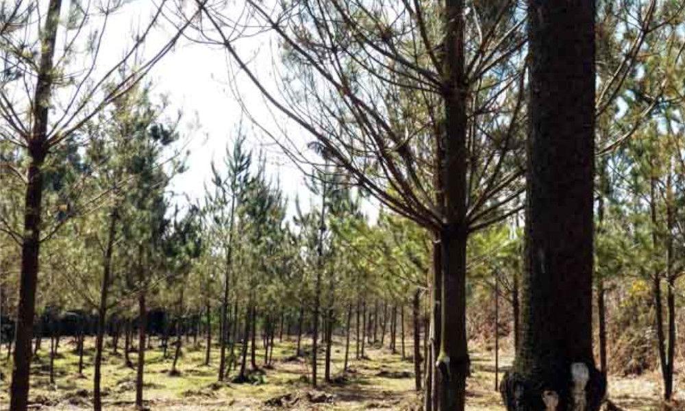 La Asociación Forestal impulsa la producción de madera de alto valor