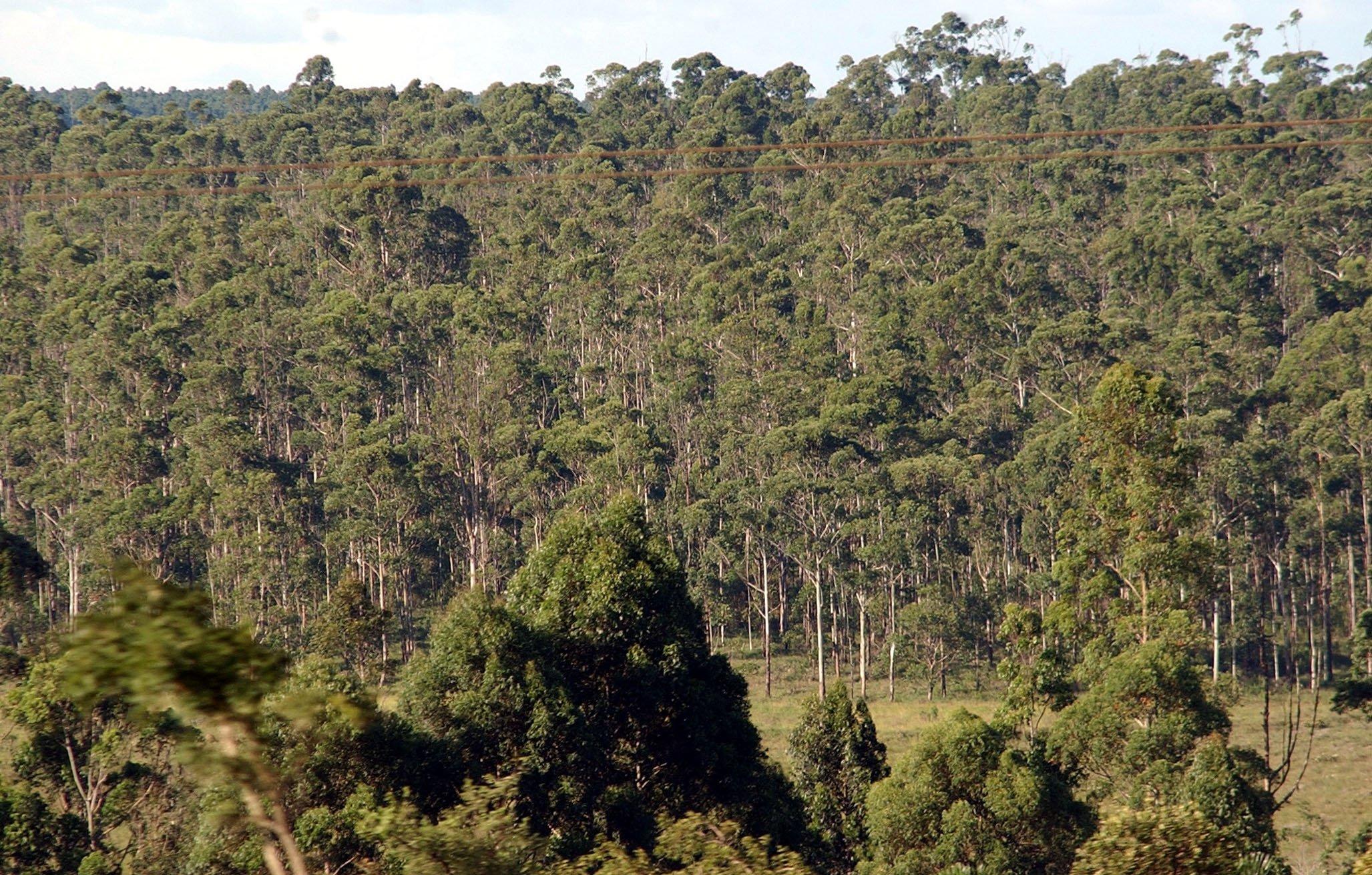 Imagen de archivo de un bosque de eucaliptos