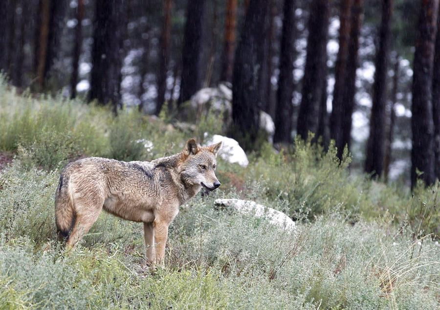 Vista de un lobo del Centro Temático del Lobo Ibérico, en Robledo. /Archivo EFE