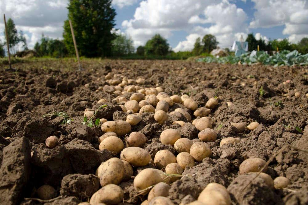 Plantación de patatas en A Limia / Xunta