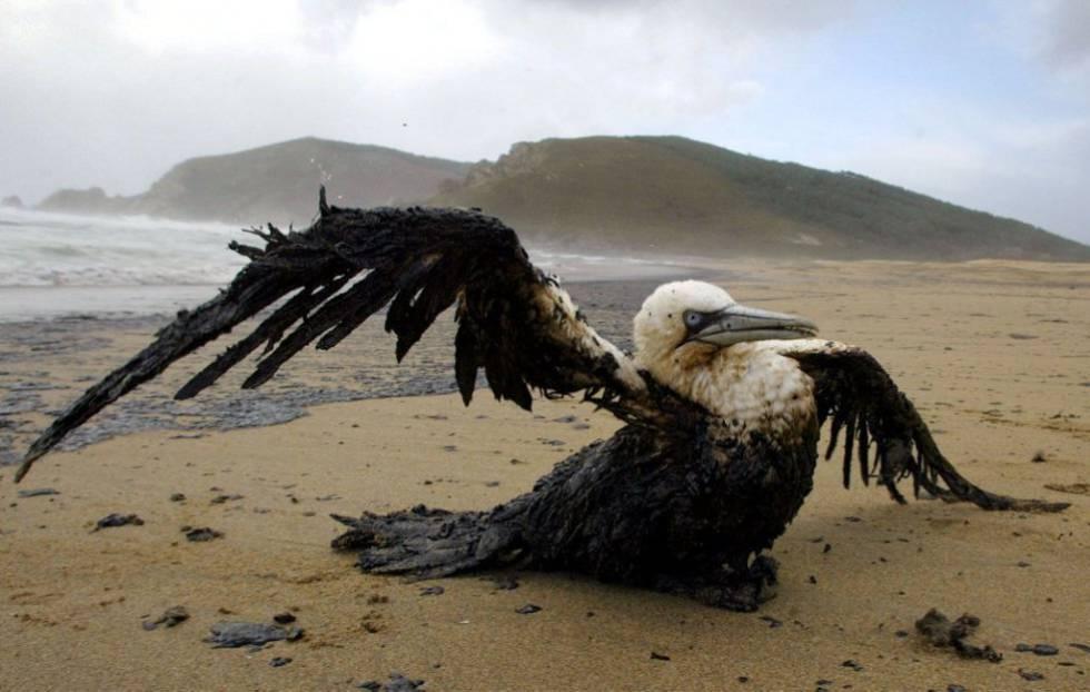 Impacto del vertido del pertrolero Prestige sobre la fauna / Reuters