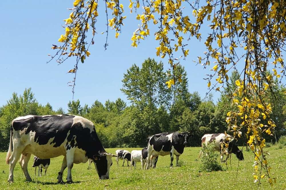 Vacas de A Casa Grande de Xanceda pastando en los terrenos de la sociedad