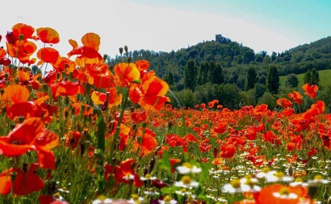 Amapolas en La Toscana. Foto Monique Kraan Unsplash