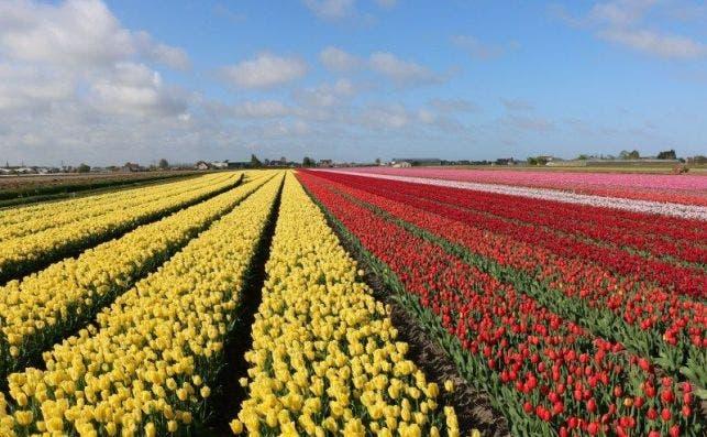 campos tulipanes Foto Tulip Festival