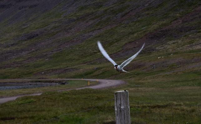 Un charrán ártico protege sus nidos, en Islandia. / Paula Arandia