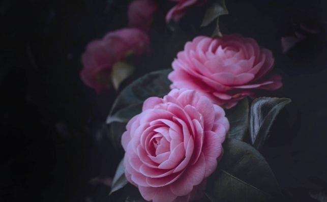Existen camelias rojas, rosas, blancas, amarillas o jaspeadas. Foto Tomoko Uji Unsplash