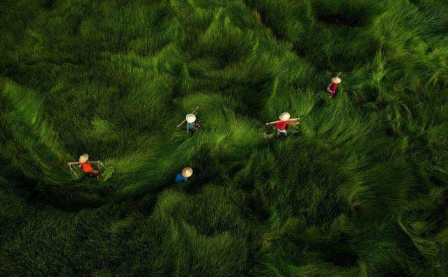 'Harvesting' by @huybank (Vietnam)