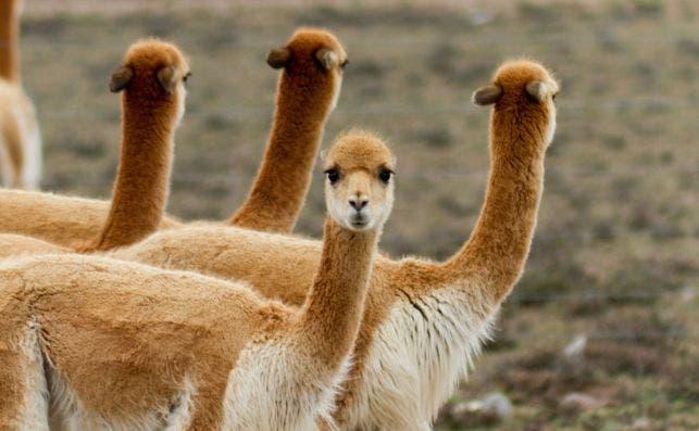 Llamas. Perú.