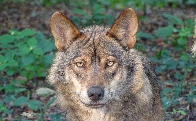 lobo iberco parque el Hosquillo