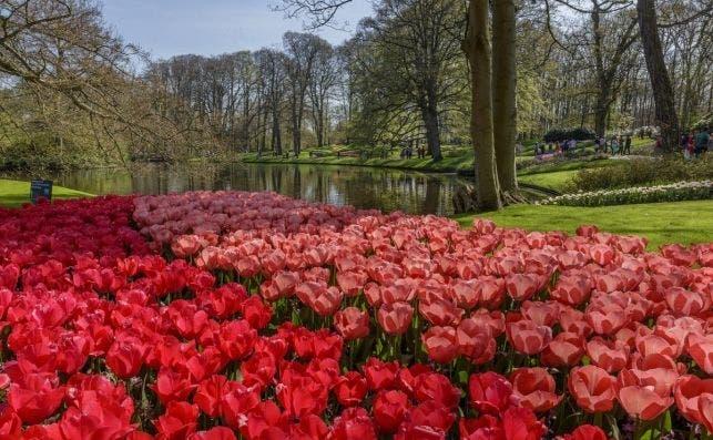 Tulipanes por doquier. Foto Keukenhoff.