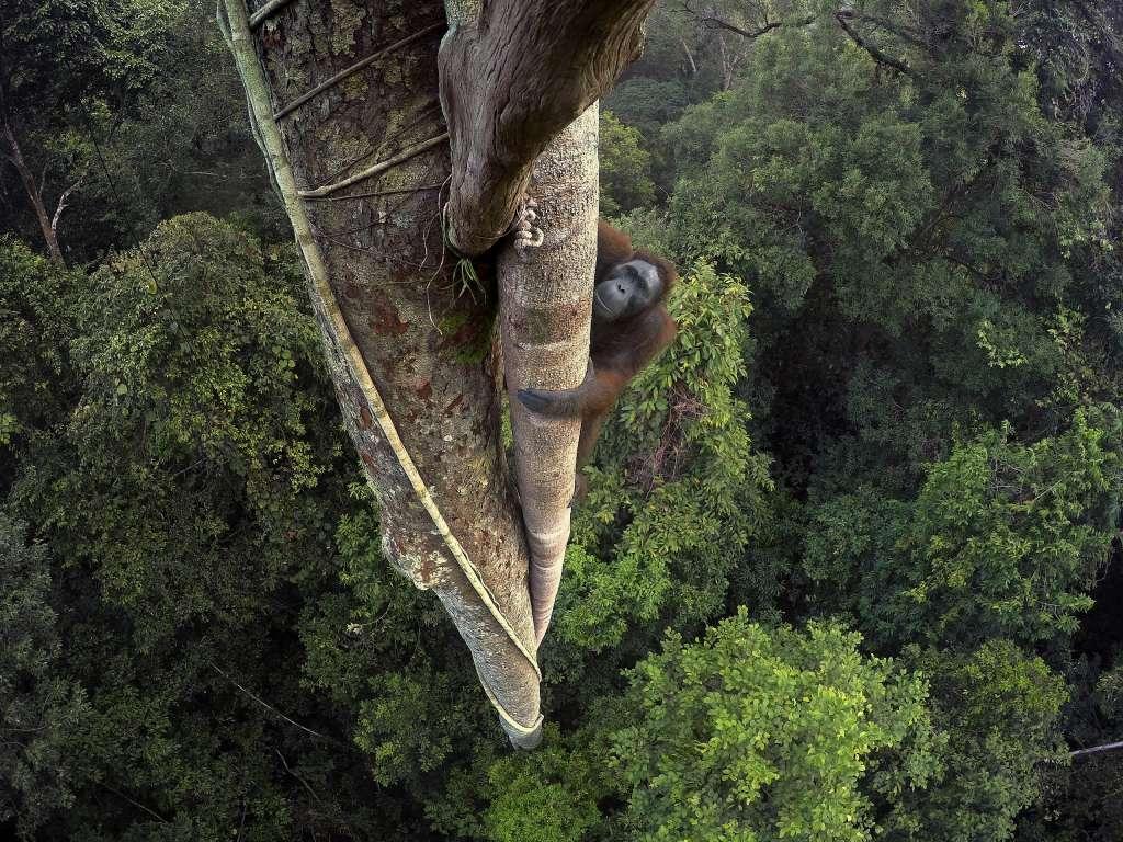 Orangután de Borneo Kalimantan, Borneo (Indonesia) Fotógrafo Tim Laman