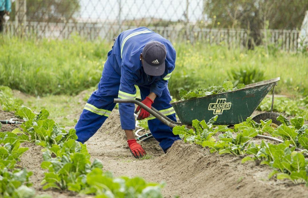 agricultor recogiendo frutos 1